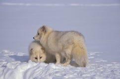 Raposas árticas na neve Imagem de Stock Royalty Free
