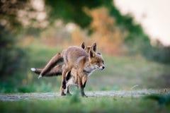 Raposas running fotografia de stock