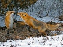Raposas vermelhas Imagens de Stock