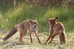 Raposas vermelhas de combate Imagem de Stock Royalty Free