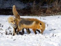 Raposas vermelhas na neve Imagem de Stock