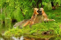 Raposas vermelhas que lutam e que snarling Fotos de Stock