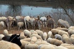 Rappe inmitten der Schafe und der Esel, die den Fluss übersehen Lizenzfreie Stockfotos