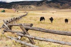 Rappen auf einem Bauernhof in Colorado Stockbild