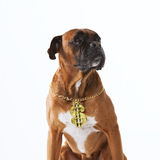 Rapper boxer dog. Funny boxer dog with a rapper gold necklace Royalty Free Stock Photos