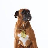 Rapper boxer dog Royalty Free Stock Photos