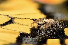 Rapport optique extrême - l'araignée sautante sur un papillon s'envolent Photos libres de droits