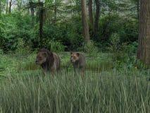 rappresentazione 3d dei leoni maschii e femminili royalty illustrazione gratis