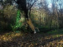 rappresentazione 3d del giaguaro grande che streching sopra un albero illustrazione di stock