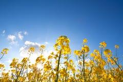 Rapsölblumen über blauem Himmel Lizenzfreie Stockbilder
