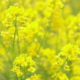 Raps-Blumen am schönen Tag. Lizenzfreie Stockfotos