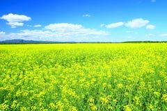 Raps, Canola, Biodiesel-Ernte Lizenzfreies Stockfoto