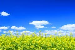 Raps, Canola, Biodiesel-Ernte Stockfotos