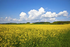 Raps field. An image of a raps field in Bavaria Germany Royalty Free Stock Image