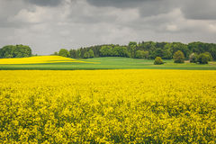 Raps field. An image of a raps field in Bavaria Germany Stock Image