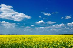 Raps field Royalty Free Stock Photography