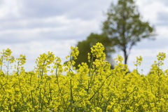 Raps field background. An yellow Raps field background Royalty Free Stock Photo