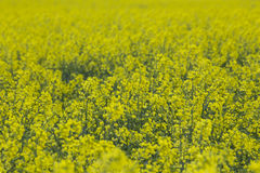 Raps field background. An yellow Raps field background Royalty Free Stock Photography