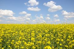Raps field with blue sky. Raps field with the blue cloudy sky Stock Images