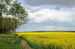 Raps field with blue sky. Raps field with the blue cloudy sky Stock Photo