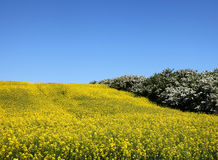 Raps field. In blue and yellow Royalty Free Stock Photography