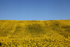 Raps field. In blue and yellow Royalty Free Stock Image
