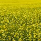 Raps field. Endless raps field in Germany(square Stock Photos