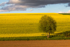 Raps field. An image of a raps field in Bavaria Germany Stock Photo