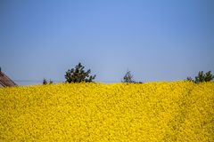 Raps field landscape. Colorful field of blooming raps Royalty Free Stock Image