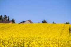 Raps field landscape. Colorful field of blooming raps Royalty Free Stock Photography
