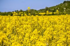 Raps field landscape. Colorful field of blooming raps Stock Image