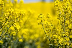 Raps field landscape. Colorful field of blooming raps Royalty Free Stock Images