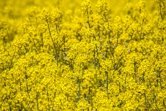 Raps field landscape. Colorful field of blooming raps Royalty Free Stock Photos