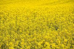Raps field landscape. Colorful field of blooming raps Stock Photo