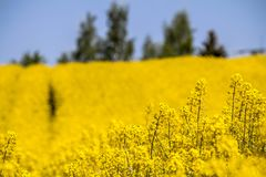 Raps field landscape. Colorful field of blooming raps Stock Photography