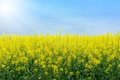 Raps Field Landscape under blue Sky stock photography