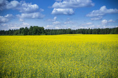 Raps Field near forest Royalty Free Stock Images