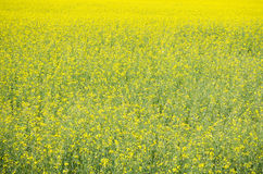 Raps Field near forest Royalty Free Stock Photo