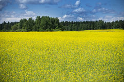 Raps Field near forest Royalty Free Stock Image