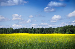 Raps Field near forest. The yellow raps field near forest Stock Image