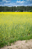 Raps Field near forest. The yellow raps field near houses in the forest Royalty Free Stock Photography