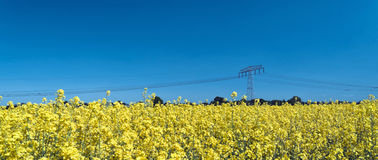 Raps field, panoramic view Royalty Free Stock Photo