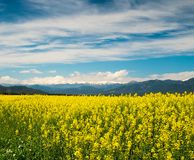 Raps field. With Pyrenees in distance Stock Images