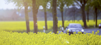 Raps field and traffic. An yellow Raps field and traffic Stock Photo