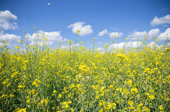 Raps field. The yellow raps field in summer day Royalty Free Stock Photography