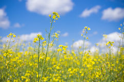 Raps field. The yellow raps field in summer day Royalty Free Stock Images
