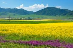 Raps-Landschaft China-Qinghai Lizenzfreies Stockbild
