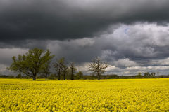 Raps stromy fiels. Spring raps field, stormy clouds Stock Photo