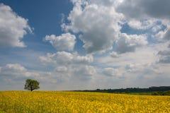 Rapseed pole naftowe z dramtatic błękitnym chmurnym niebem i przerzedże dębowego drzewa Fotografia Stock