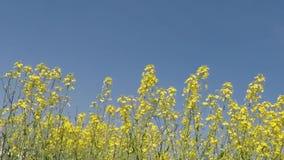 Rapsfeld in der Blüte stock video footage